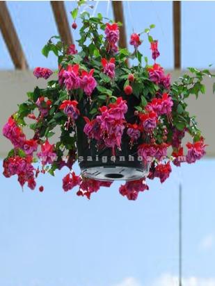 hoa long den treo san thuong